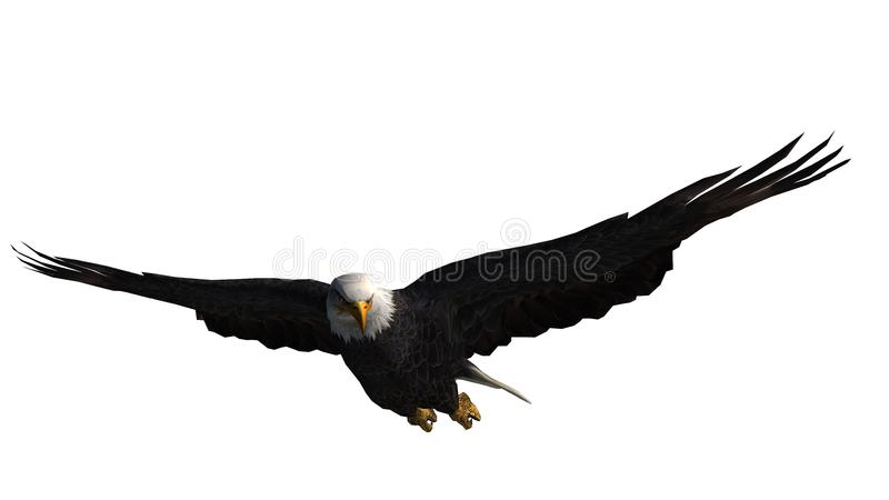 Bald Eagle in fly - white background royalty free stock photography