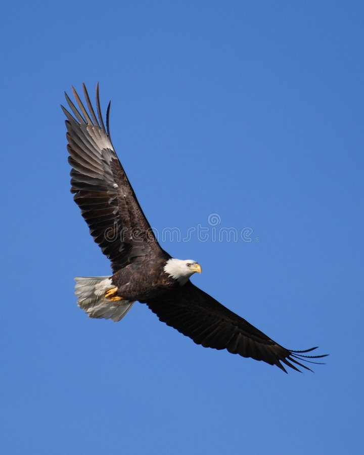 Bald Eagle flying. Majestic adult bald eagle, powerful and free, flying against a clear blue sky