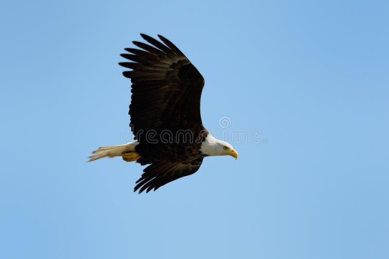 Download Bald Eagle stock photo. Image of wildlife, side, bald - 33086516