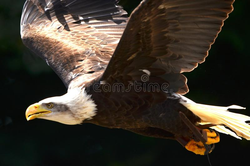 Bald Eagle Flying royalty free stock photos