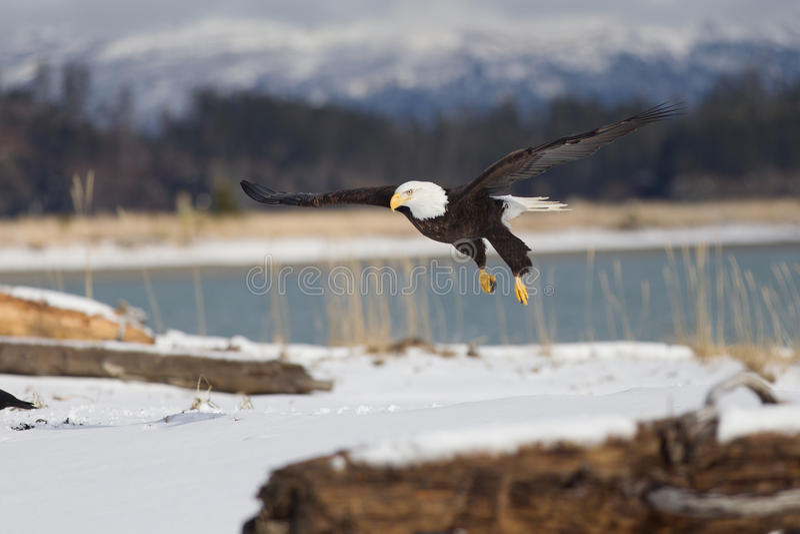 Bald Eagle flying, Homer Alaska. Beautiful Bald Eagle flying, Homer Alaska stock photos