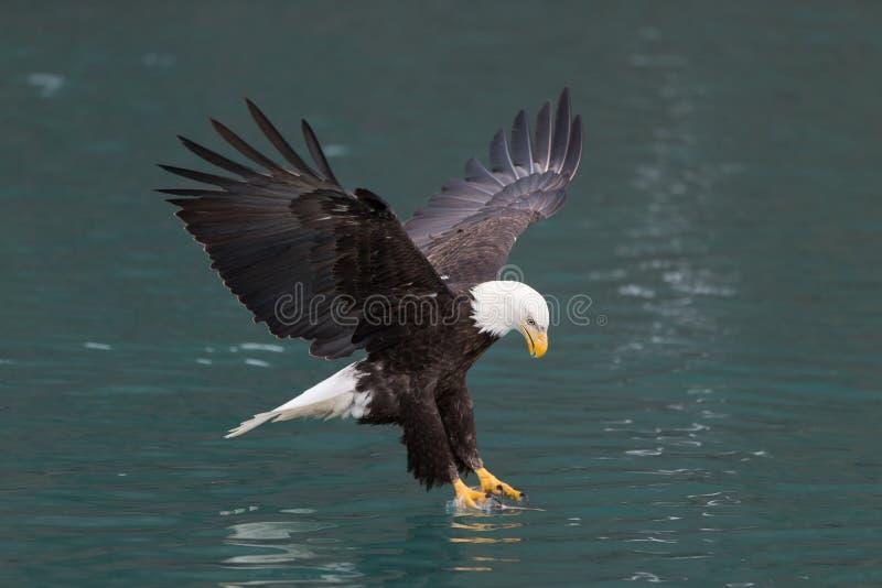 Bald Eagle flying, Homer Alaska. Beautiful Bald Eagle flying, Homer Alaska stock images