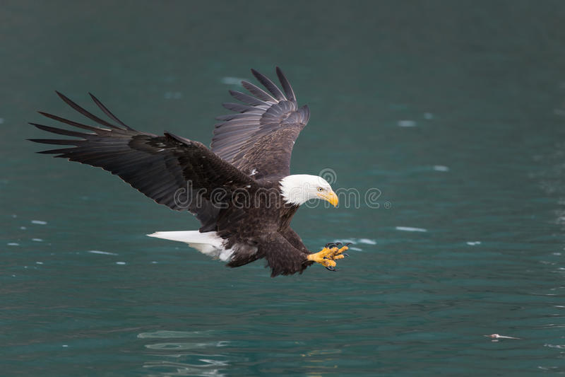 Bald Eagle flying, Homer Alaska. Beautiful Bald Eagle flying, Homer Alaska royalty free stock image