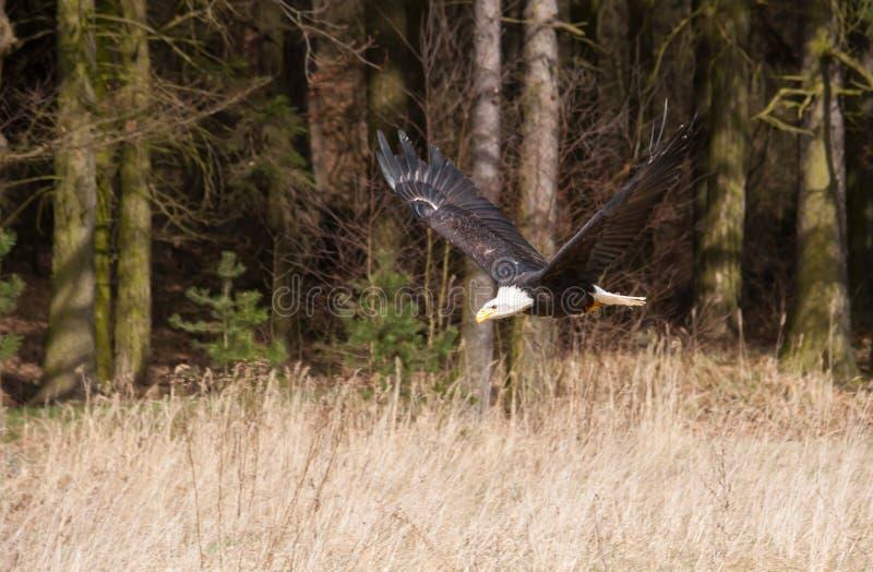 Haliaeetus leucocephalus - White-head eagle flying in forest royalty free stock photos