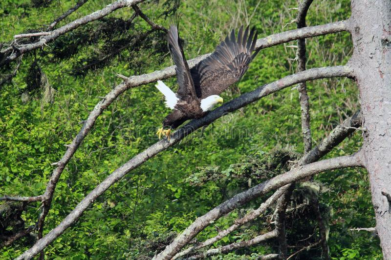 Bald Eagle flying off a branch to get to prey in the ocean royalty free stock image