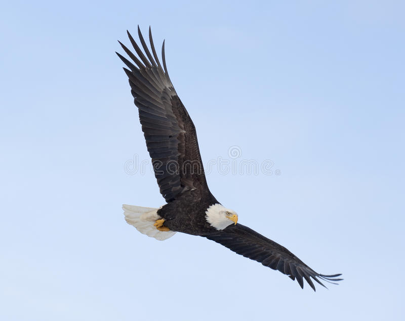 Bald eagle flying over the bay in Homer, Alaska stock images