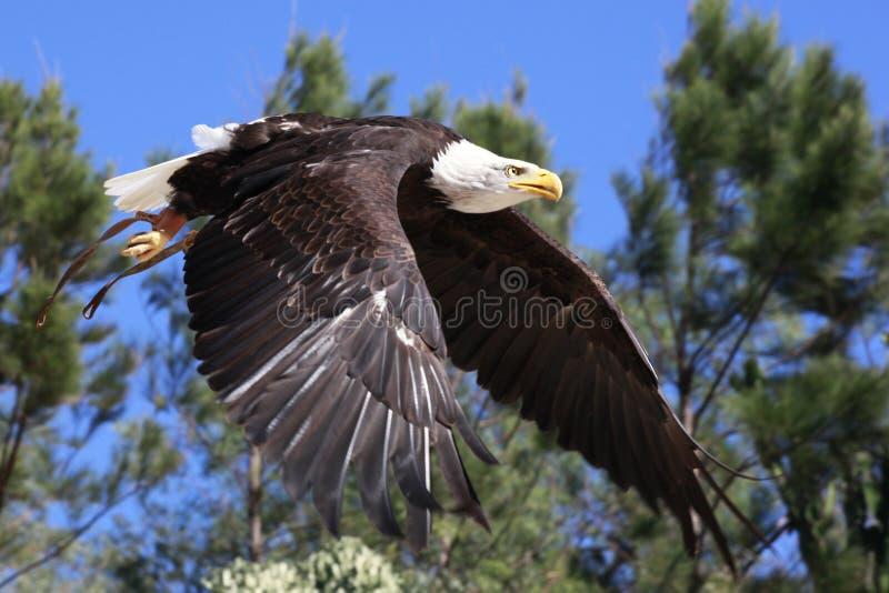 Bald Eagle flying over woods stock photo