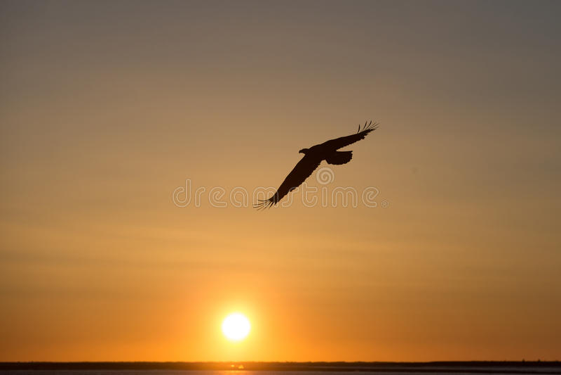 Bald Eagle flying at sunset , Homer Alaska. Adult Bald Eagle flying at sunset, Homer Alaska stock photography