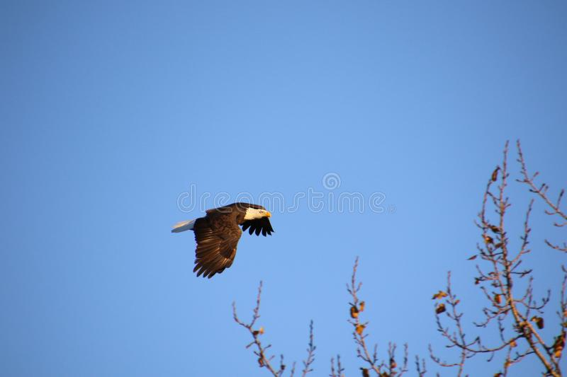 A bald eagle flying to the right royalty free stock photography