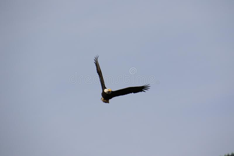 A bald eagle flying toward the camera stock images