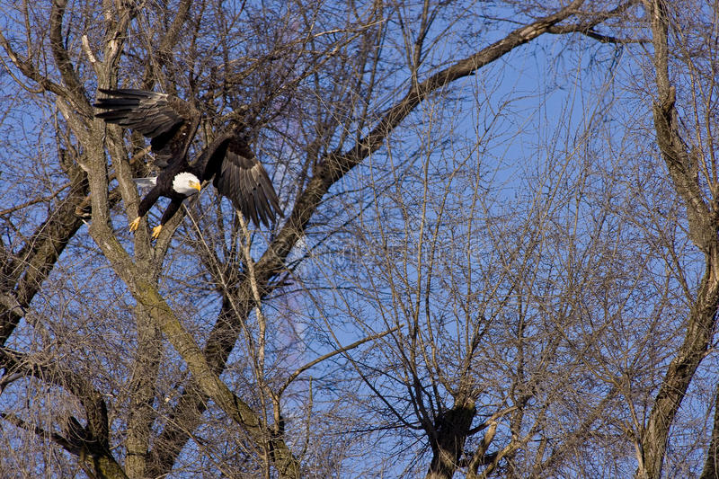 Download Bald Eagle Flying Through Tree Branches Stock Image - Image of wings, graceful: 12974407