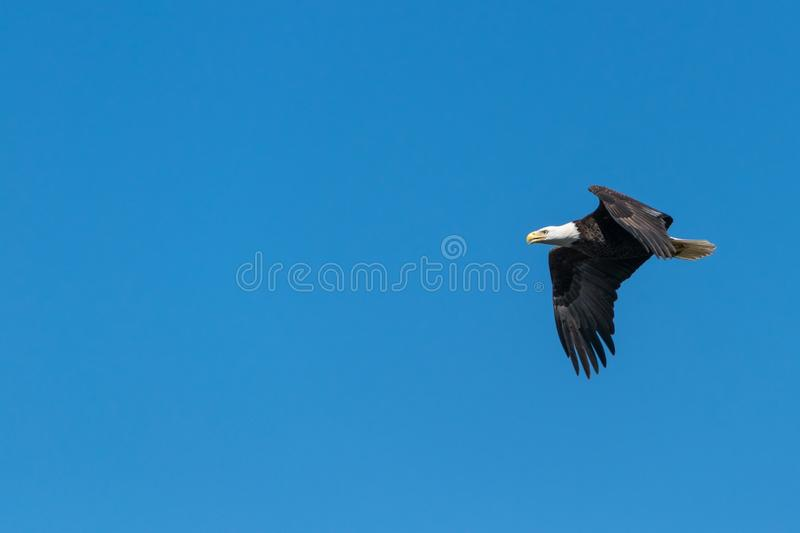 Bald Eagle Flying Under Blue Sky during Daytime royalty free stock photos