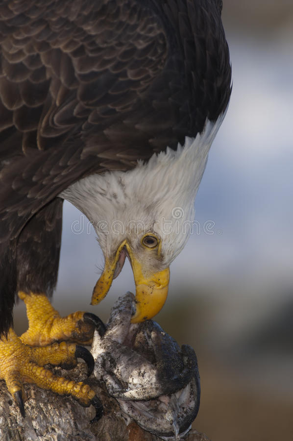 Download Bald Eagle with food stock photo. Image of aves, avain - 13609736