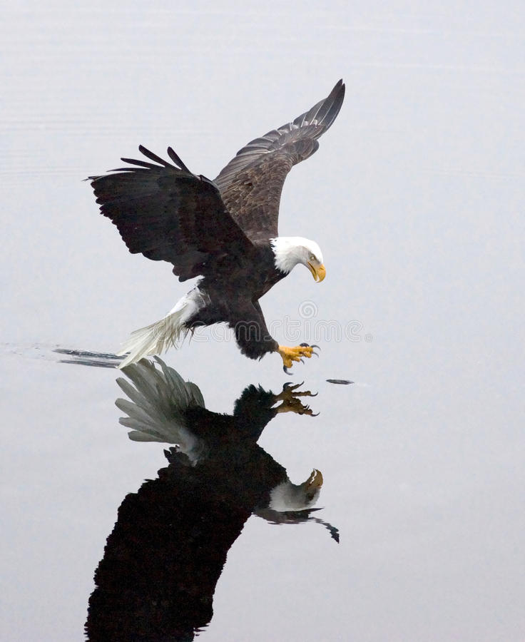 Download A Bald Eagle Grabs A Fish. Stock Photos - Image: 12401523