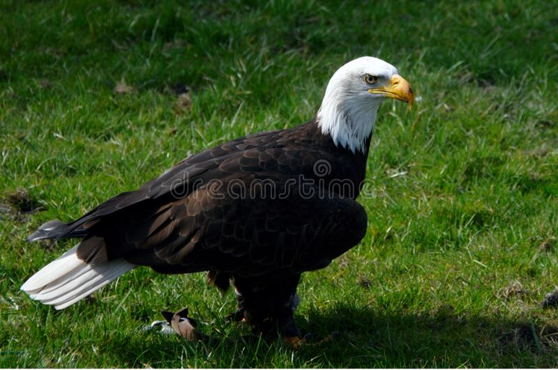 Bald Eagle on Green Grass royalty free stock photography