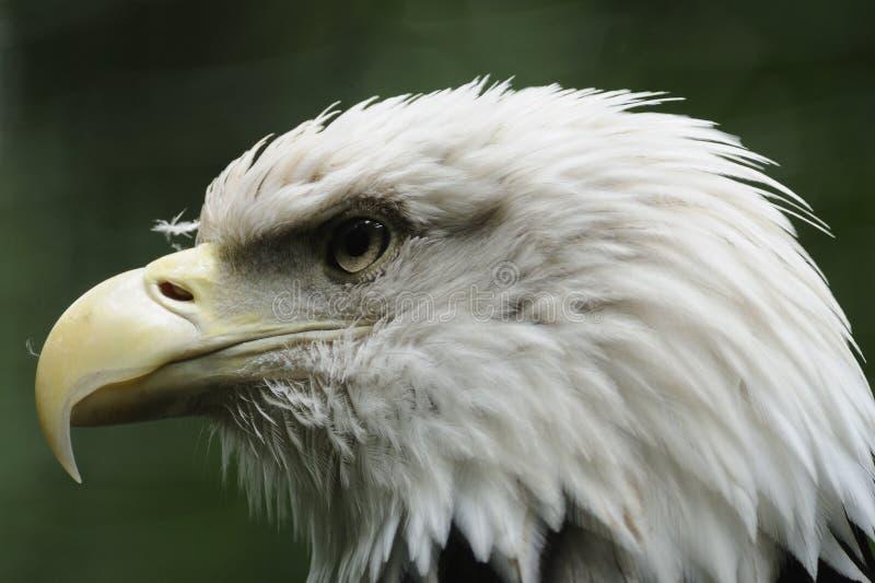 Bald Eagle ( Haliaeetus leucocephalus ) royalty free stock image