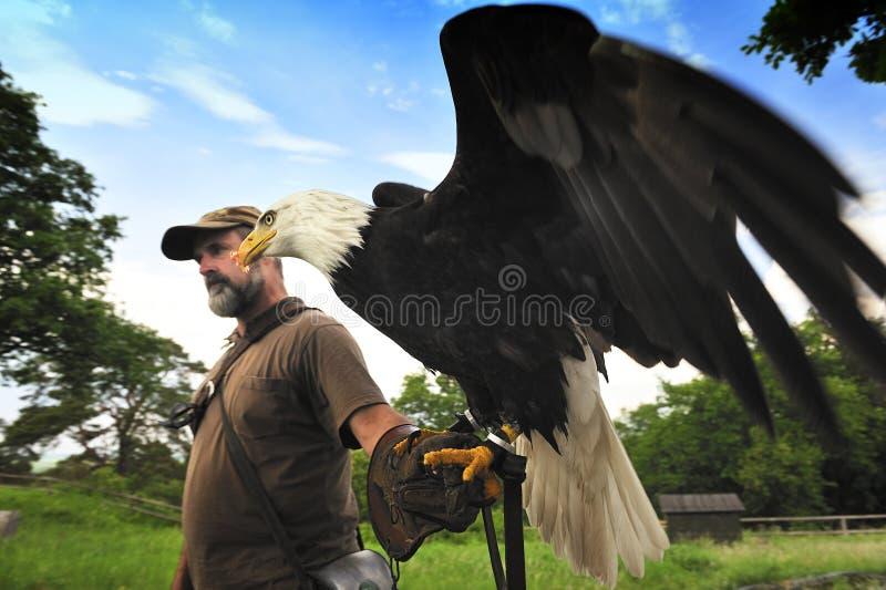 Bald Eagle (Haliaeetus leucocephalus). Falconer Men carrying a bald eagle on his arm,Burg Regenstein,Germany royalty free stock photos