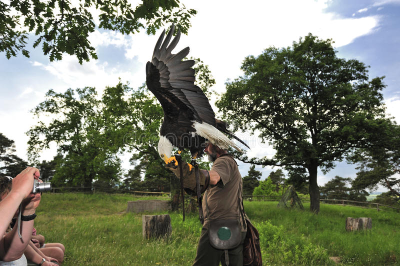 Bald Eagle (Haliaeetus leucocephalus). Falconer men carrying a bald eagle on his arm,Burg Regenstein,Germany stock photo