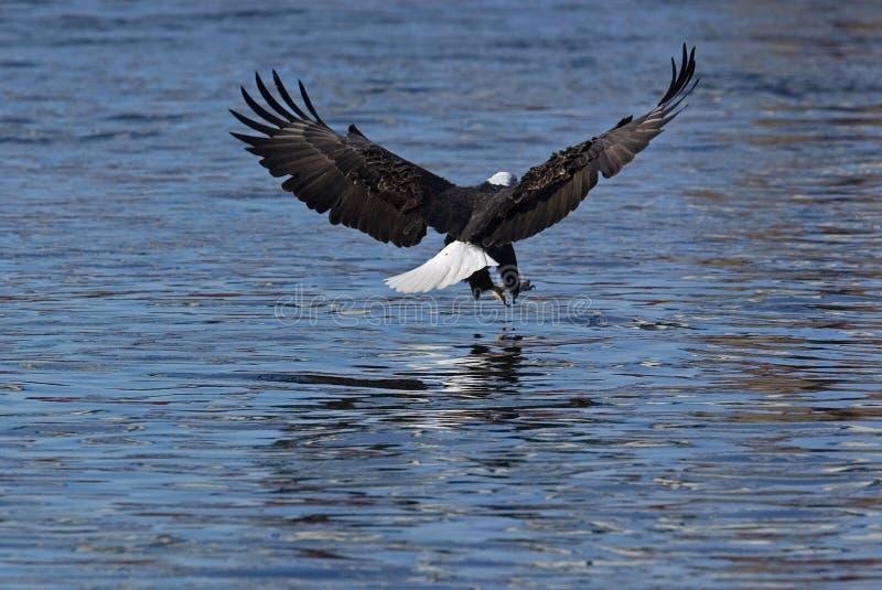 Download Bald Eagle (Haliaeetus Leucocephalus) Stock Photo - Image: 24670052