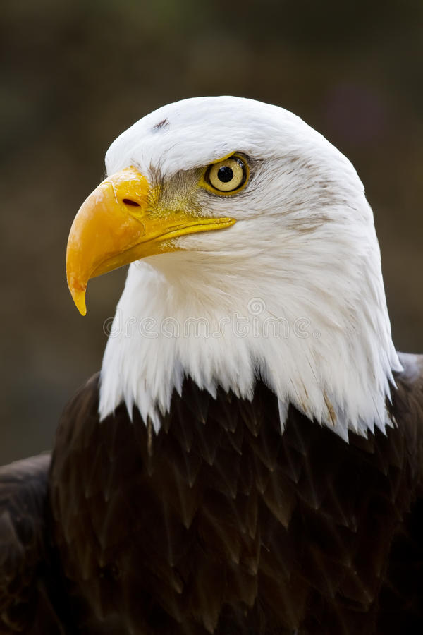 Free Bald Eagle Haliaeetus Leucocephalus Stock Image - 25168861
