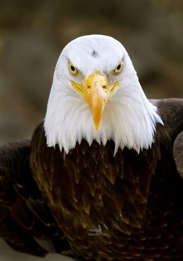 Download Bald Eagle Haliaeetus Leucocephalus Stock Image - Image: 25169015