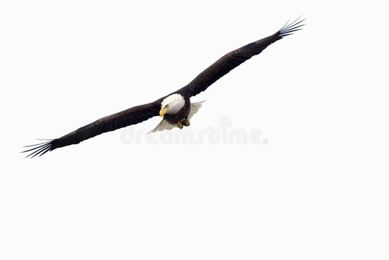 Bald Eagle (Haliaeetus Leucocephalus) Royalty Free Stock Image