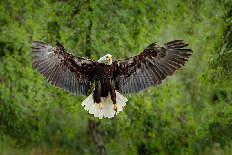 Bald Eagle, Haliaeetus leucocephalus, flying brown bird of prey with white head, yellow bill, symbol of freedom of the United Stat royalty free stock images