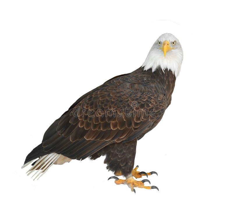 Bald eagle Haliaeetus leucocephalus isolated in white background royalty free stock image