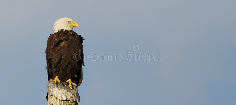 Bald Eagle - Haliaeetus leucocephalus royalty free stock photo