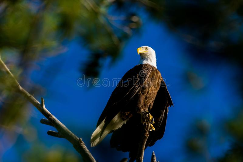 A Bald Eagle perched against a clear blue sky stock photos