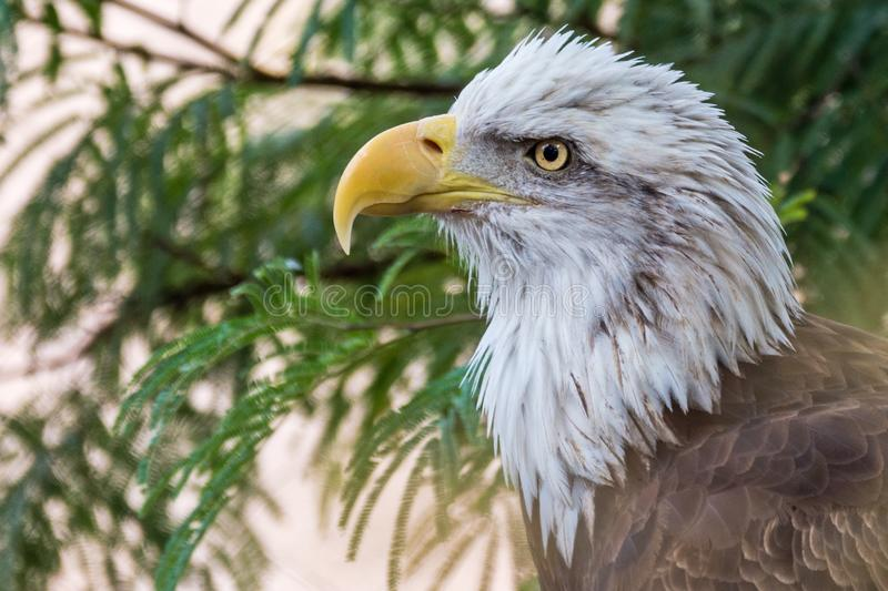 Bald Eagle at Phoenix Zoo royalty free stock photo