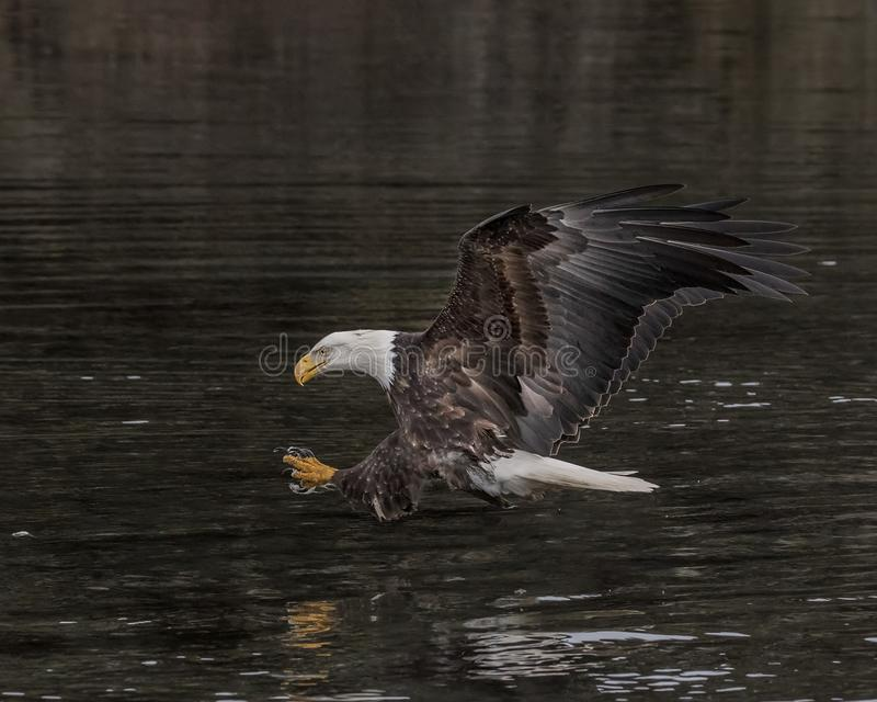 Bald Eagle with talons outstretched royalty free stock photography