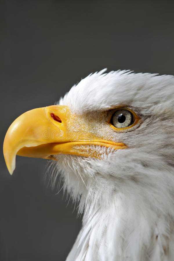 Bald Eagle Head close up stock photos