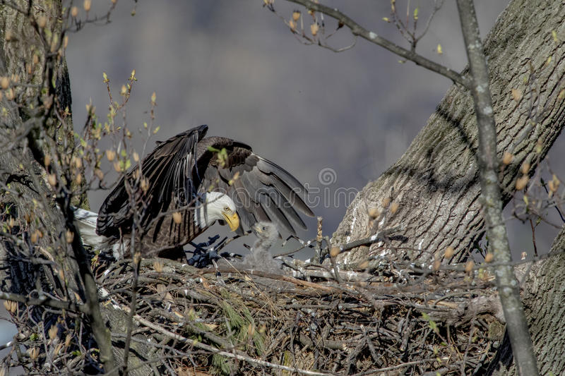 Bald Eagle with her baby royalty free stock image