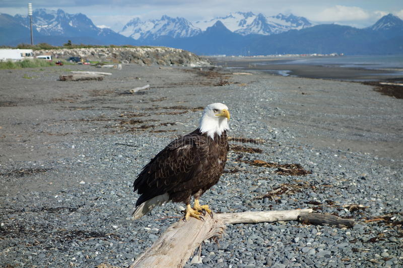 A bald eagle at homer beach. stock images