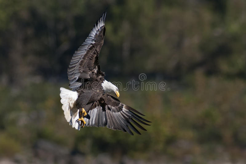 Download Bald Eagle Hunting stock image. Image of ornithology - 27609833