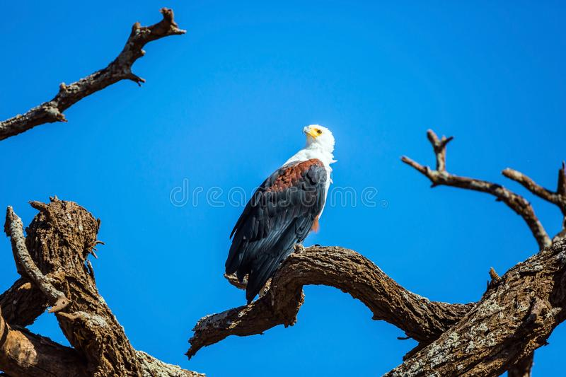 Bald eagle hunts. Near the water. African lake Naivasha. Safari - tour to the Kenya. The concept of exotic, ecological and phototourism royalty free stock photography