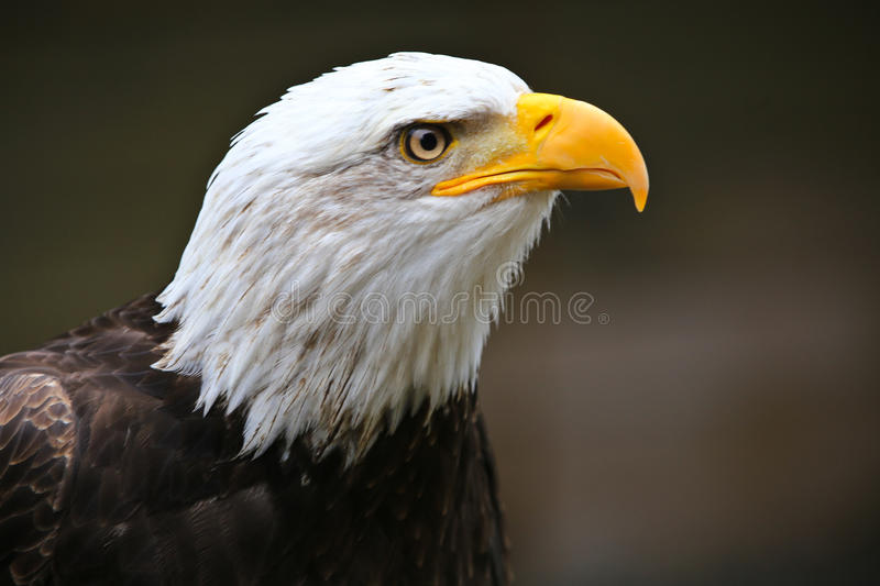 Bald Eagle II. A bald eagle sitting perched looking around for food royalty free stock image