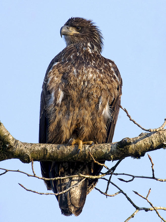 Download Bald Eagle Immature stock image. Image of wild, large - 17676983