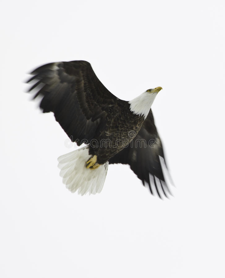 Free Bald Eagle In Flight Stock Photos - 49971493