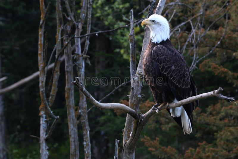 Bald eagles are large birds of prey native to North America. stock photo