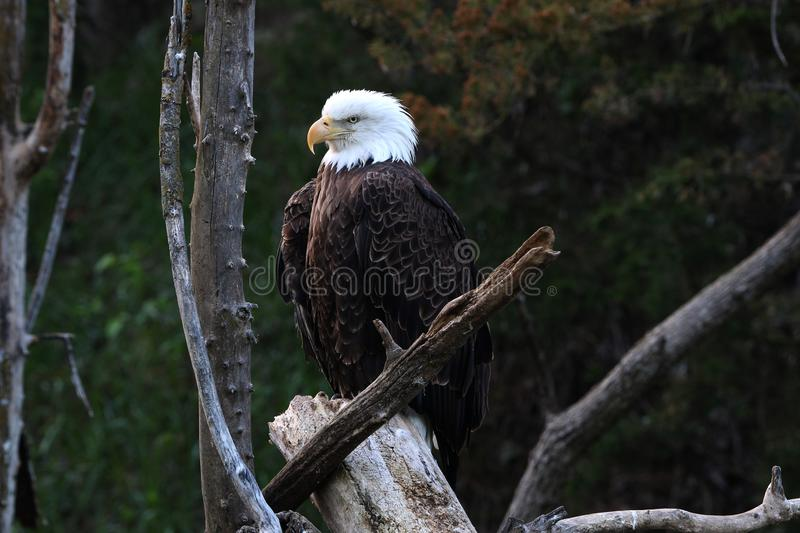 Bald eagles are large birds of prey native to North America. royalty free stock images