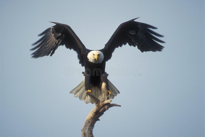 Bald eagle landing stock image