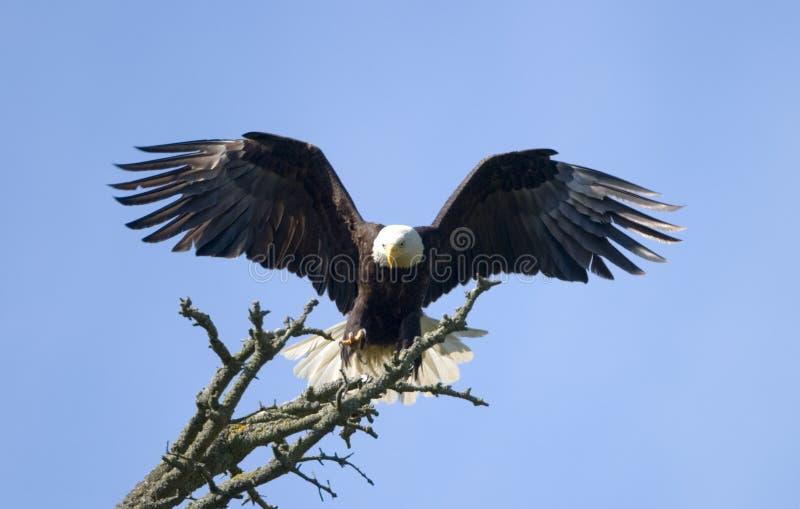 Bald Eagle Landing stock photos