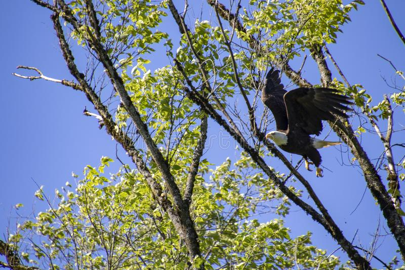 A bald eagle launching itself from a tree stock photos