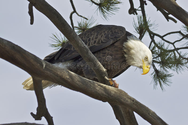 Bald Eagle On Limb royalty free stock images