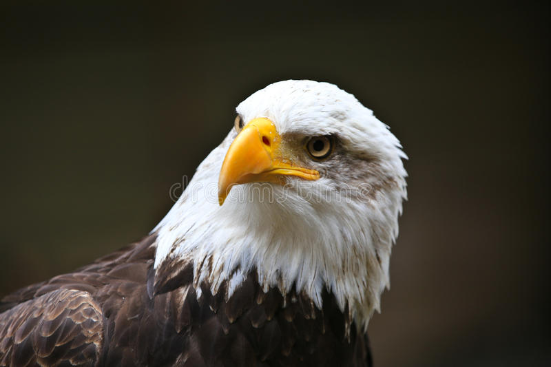 Bald Eagle. Looking around while perched stock photography