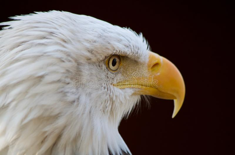 Bald eagle looks to its left showing intense stare and sharp yellow beak stock photos