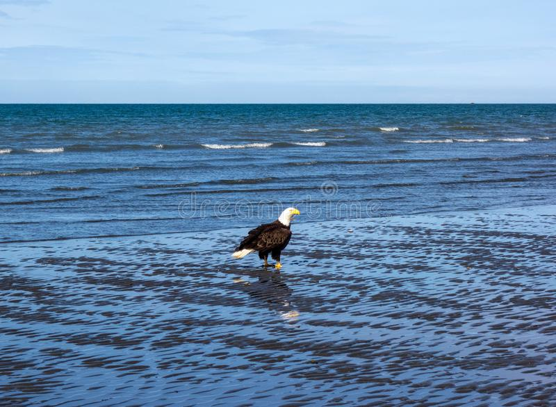 A bald eagle at low tide stock photo