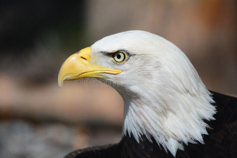 Bald Eagle in Macro Photography royalty free stock photography